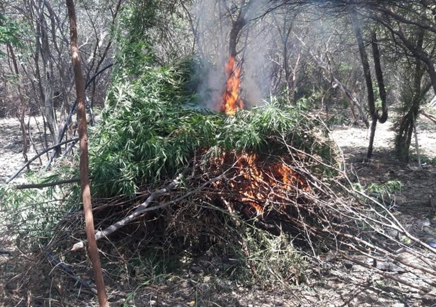 Plantação com mais de 3 mil pés de maconha é encontrada pela polícia na Bahia
