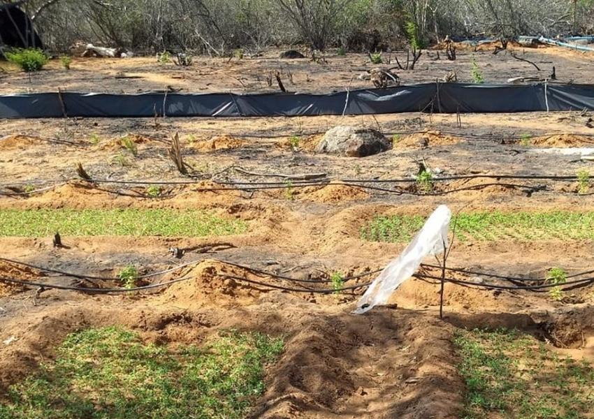 Polícia Militar encontra plantação com mais de 50 mil pés de maconha