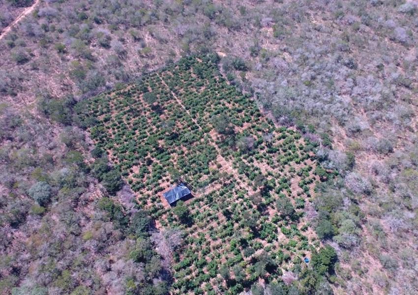 Polícia localiza 40 mil pés de maconha com auxílio de drone