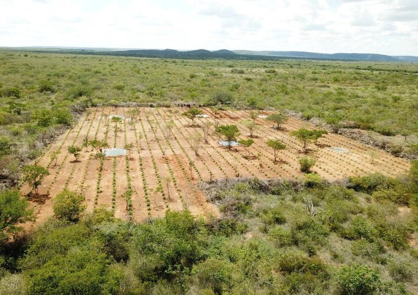 Polícia Civil erradica plantação de maconha avaliada em R$ 32 milhões no interior do Estado
