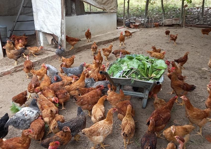 Criação de galinha caipira gera lucro para agricultores familiares de Alagoinhas