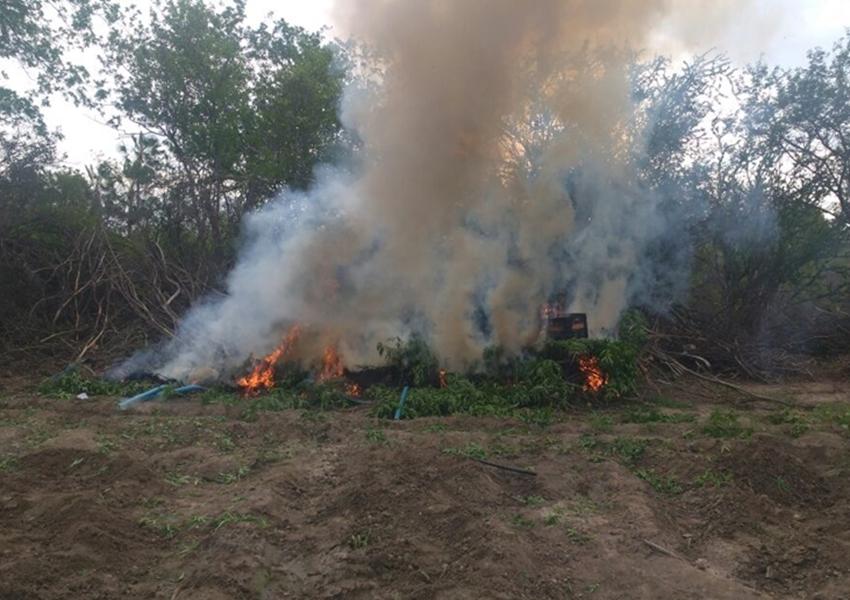 Policiais militares localizam 19 mil pés de maconha em Juazeiro