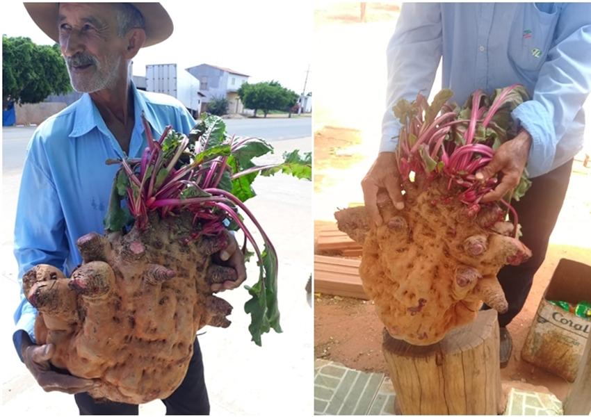 Livramento: Morador da comunidade de Campo Alegre colhe beterraba  gigante