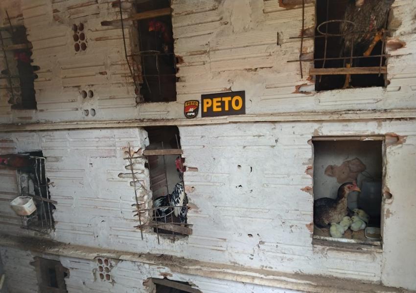 Livramento: Rinha de galo é desmontada e 17 animais vítimas de maus-tratos são resgatados pela PM