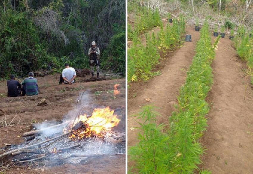 Ibicoara: polícias Civil e Militar localizam pés de maconha na zona rural; três pessoas foram presas