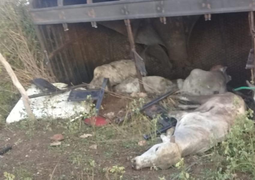 Caminhão carregado de bovinos tomba em Livramento de Nossa Senhora