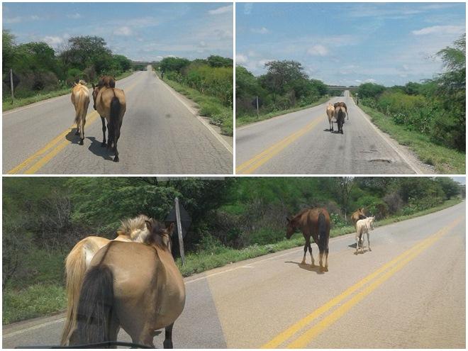 Animais continuam soltos na rodovia que liga Livramento a Brumado e risco de novos acidentes aumenta a cada dia